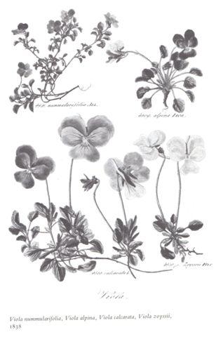 ボタニカルアート ---Viola---_b0137969_1716367.jpg