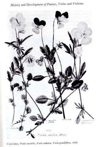 ボタニカルアート ---Viola---_b0137969_17331661.jpg