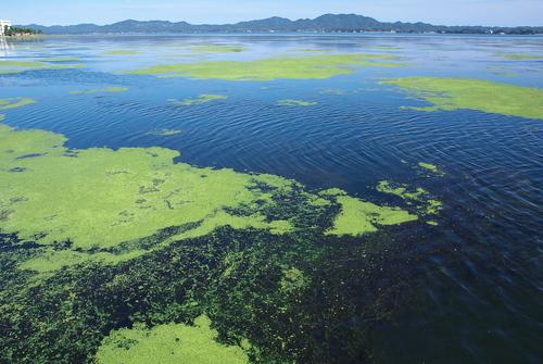 宍道湖の藻とアオコ : Noraのなんだかなあ日記
