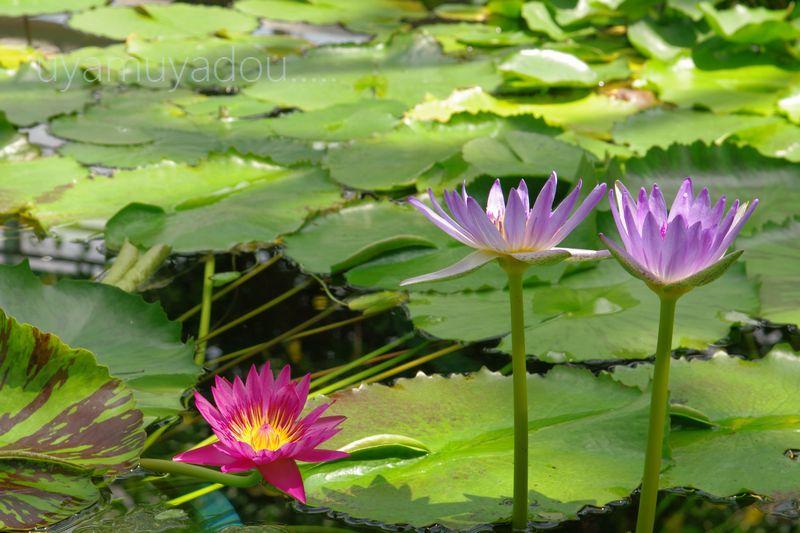 琵琶湖水生植物園_a0157263_17305184.jpg