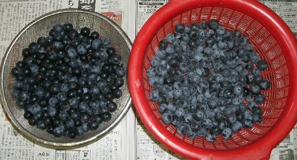 ブルーベリーの収穫も終盤 _f0018078_17595263.jpg