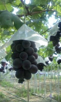 ゆうパックの注文の藤稔を収穫中です。_d0026905_954115.jpg