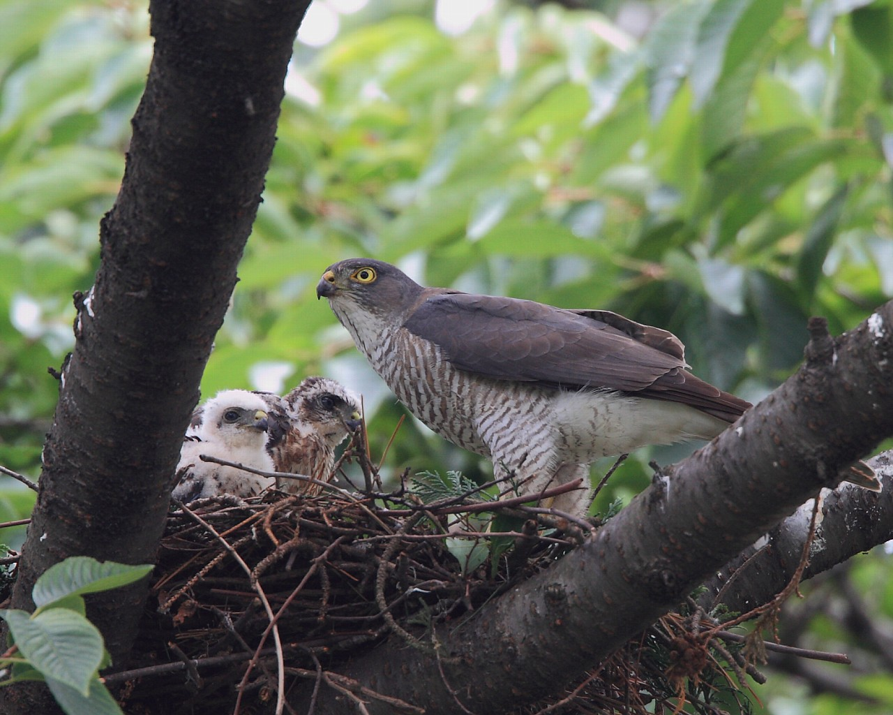 今朝のテレビでツミの繁殖を放送、鳥くんも出演_f0105570_20504326.jpg