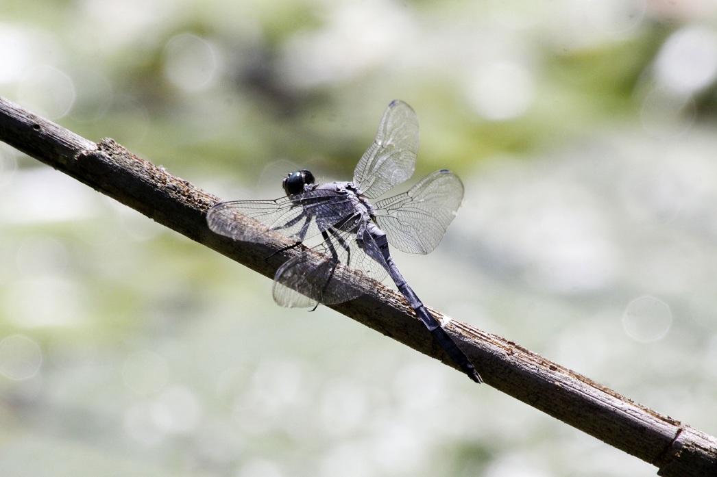 水生植物の池はトンボの池 ~埼玉・森林公園~_a0107574_21491987.jpg
