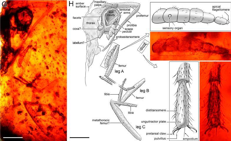 コハクに封じ込められたハエ・ダニの最古記録が一気に1億年さかのぼる_c0025115_17461299.jpg