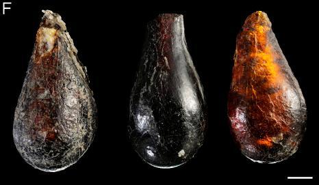 コハクに封じ込められたハエ・ダニの最古記録が一気に1億年さかのぼる_c0025115_17461427.jpg