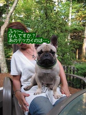 フレンチブルのガブちゃん_e0192217_10573451.jpg