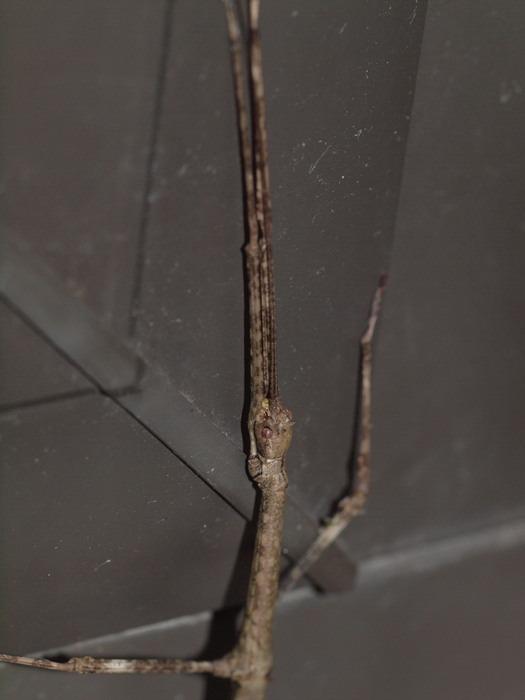 エダナナフシ 雌♀_c0116915_09259.jpg