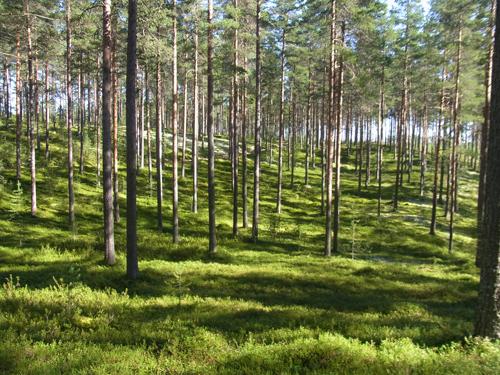 フィンランドの森_e0123419_2311398.jpg