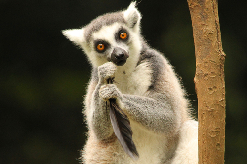 ワオキツネザル:Ring-tailed Lemur_b0249597_5232517.jpg