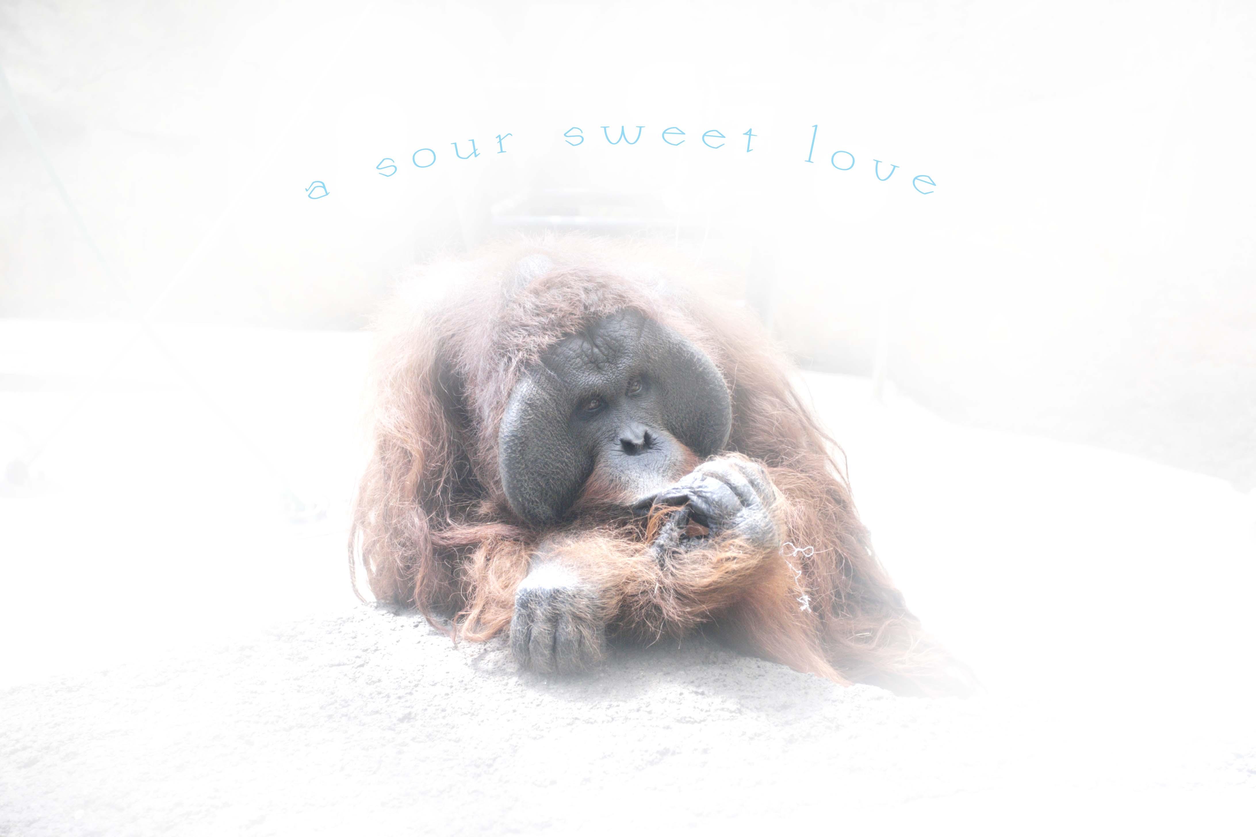 多摩動物園のオランウータン_c0222817_2011963.jpg