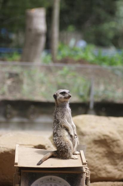 多摩動物園のオランウータン_c0222817_2014637.jpg
