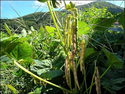 小豆の収穫_c0176838_223063.jpg