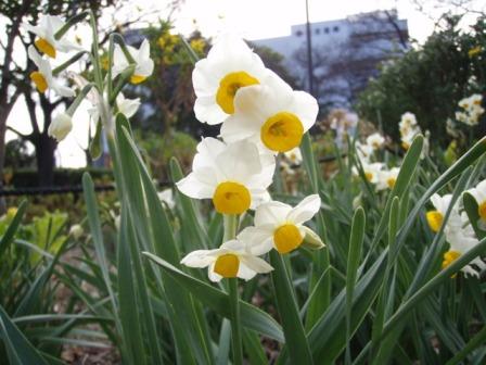 水仙が咲き始めました_b0258744_1611456.jpg