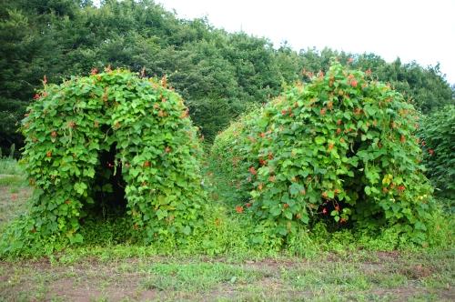 最近の花豆とモロッコインゲン_c0110869_2035593.jpg