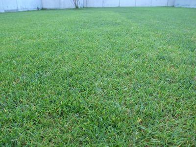 今日の芝生_e0246271_759992.jpg