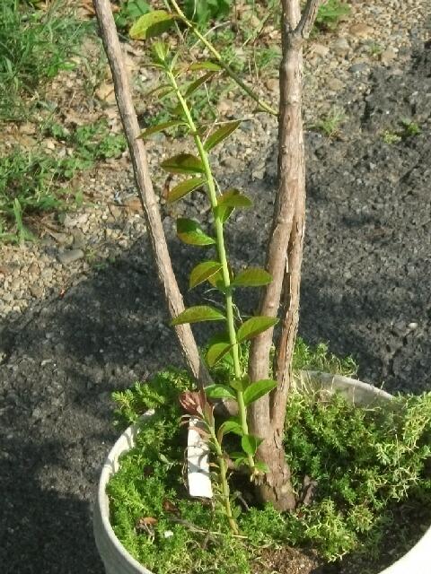 ブルーベリーの秋の成長とあれこれ _f0018078_1915458.jpg