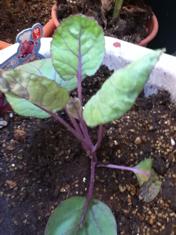 紫芽キャベツ、定植_f0101128_17542377.jpg