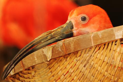 ショウジョウトキ:Scarlet Ibis_b0249597_551163.jpg