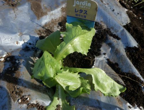キャベツ、白菜の苗を定植しました。_c0053863_23504840.jpg