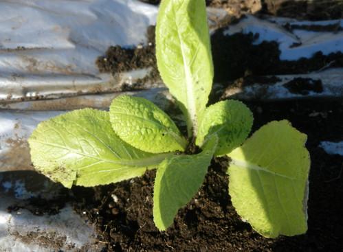 キャベツ、白菜の苗を定植しました。_c0053863_23511753.jpg