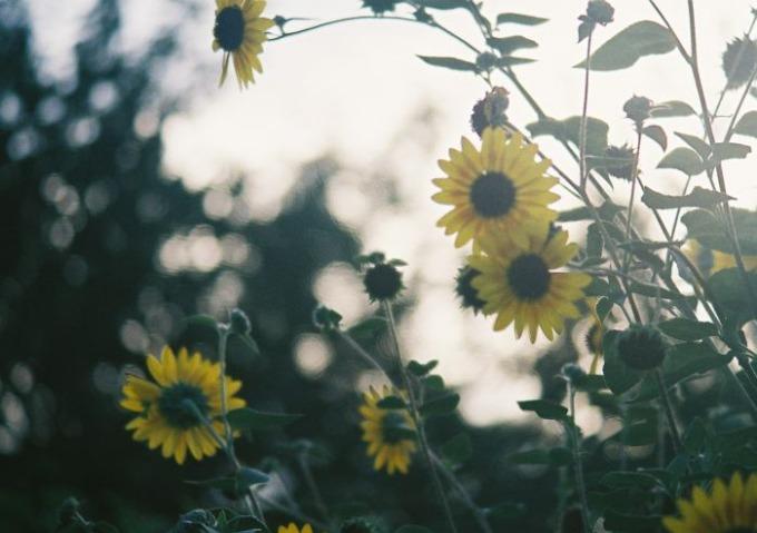 a country woman like a sunflower_b0170947_861565.jpg