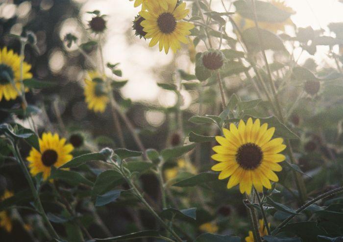 a country woman like a sunflower_b0170947_873697.jpg