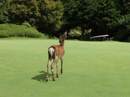 おーい 鹿さん そこは通ったらあかんのよ。_a0194908_15391086.jpg