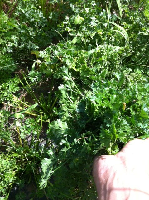 今朝は給水に専念・・Oさんには収穫&チコリの播種をお願いしました_c0222448_15432362.jpg