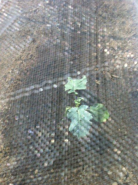 今朝は給水に専念・・Oさんには収穫&チコリの播種をお願いしました_c0222448_15433792.jpg