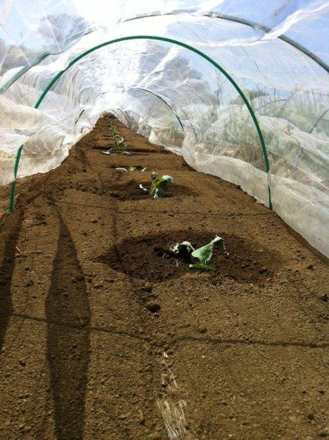 今朝は給水に専念・・Oさんには収穫&チコリの播種をお願いしました_c0222448_1543863.jpg