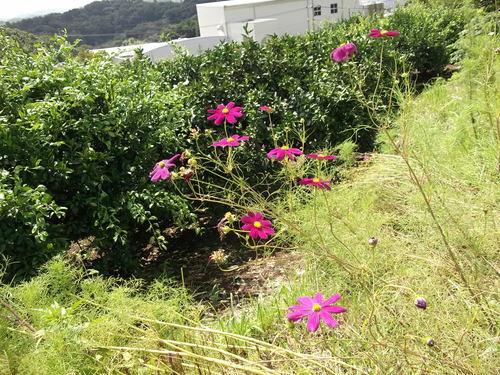 落花生の成長...収穫時期ですが!_b0137932_18493332.jpg
