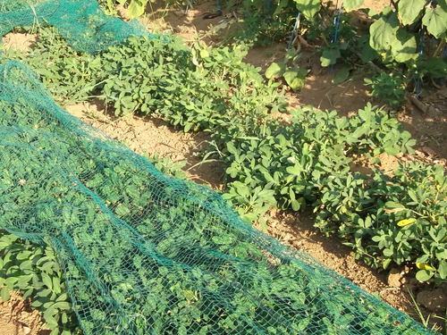 落花生の成長...収穫時期ですが!_b0137932_18574728.jpg