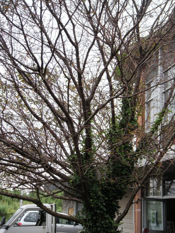 秋桜と言えば・・・コスモスのことですが・・・・・_a0114743_13314862.jpg