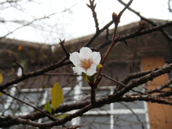 秋桜と言えば・・・コスモスのことですが・・・・・_a0114743_1332433.jpg