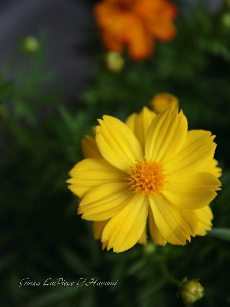 花のある風景 街中の花 やわい黄色_b0133053_22542677.jpg