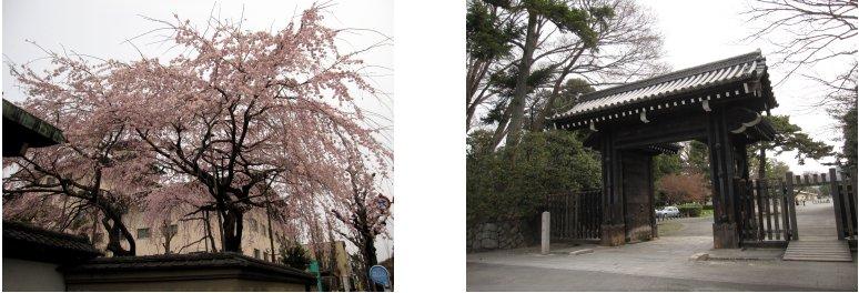 京都観桜編(9):近衛の糸桜(11.4)_c0051620_6143278.jpg