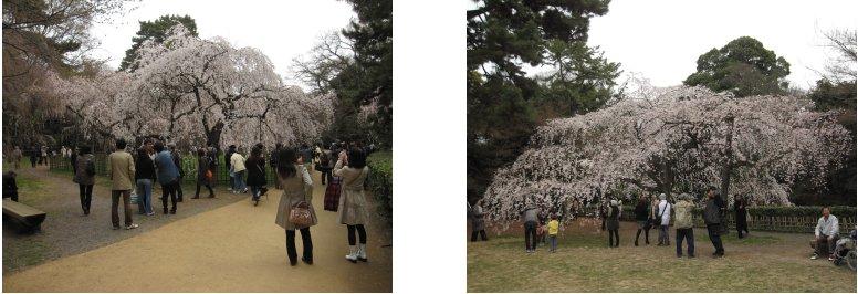 京都観桜編(9):近衛の糸桜(11.4)_c0051620_6144396.jpg