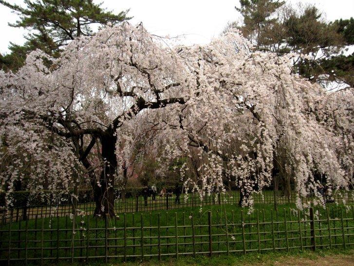 京都観桜編(9):近衛の糸桜(11.4)_c0051620_6164053.jpg
