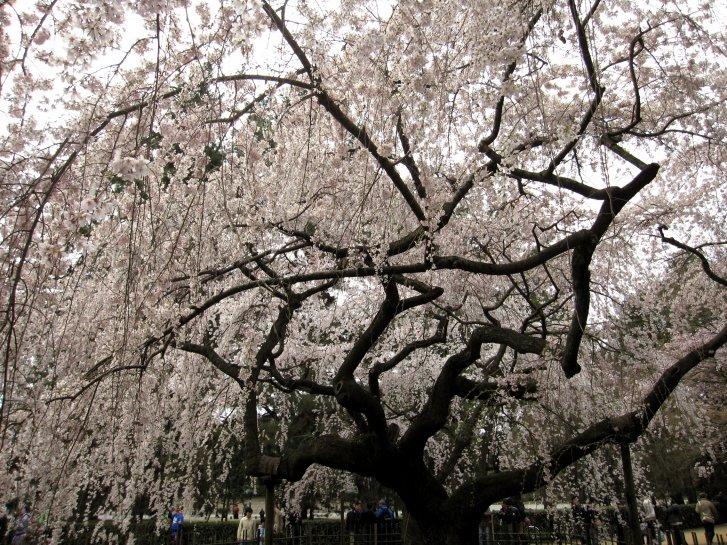京都観桜編(9):近衛の糸桜(11.4)_c0051620_6172226.jpg