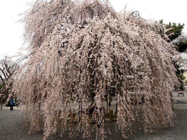 京都観桜編(9):近衛の糸桜(11.4)_c0051620_6181962.jpg