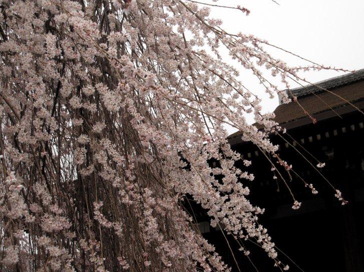 京都観桜編(9):近衛の糸桜(11.4)_c0051620_6185728.jpg