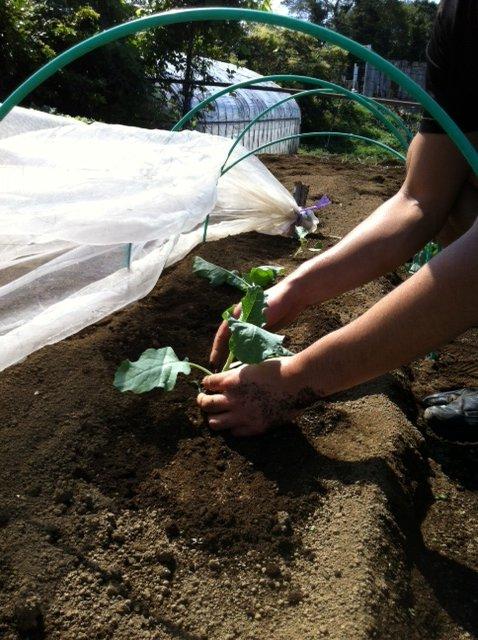 ブロッコリー&芽キャベツの苗計18株水不足と土の温度が高すぎてOUT_c0222448_14232945.jpg