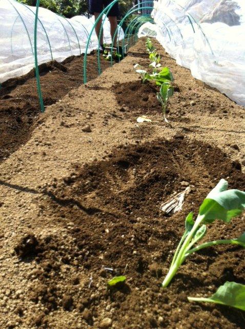 ブロッコリー&芽キャベツの苗計18株水不足と土の温度が高すぎてOUT_c0222448_14234359.jpg