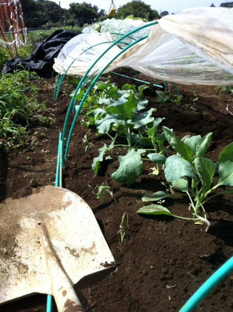 ブロッコリー&芽キャベツの苗計18株水不足と土の温度が高すぎてOUT_c0222448_1423697.jpg