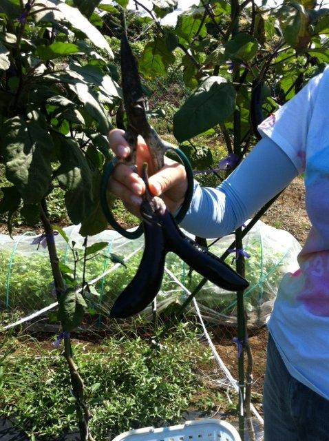 ブロッコリー&芽キャベツの苗計18株水不足と土の温度が高すぎてOUT_c0222448_14251496.jpg
