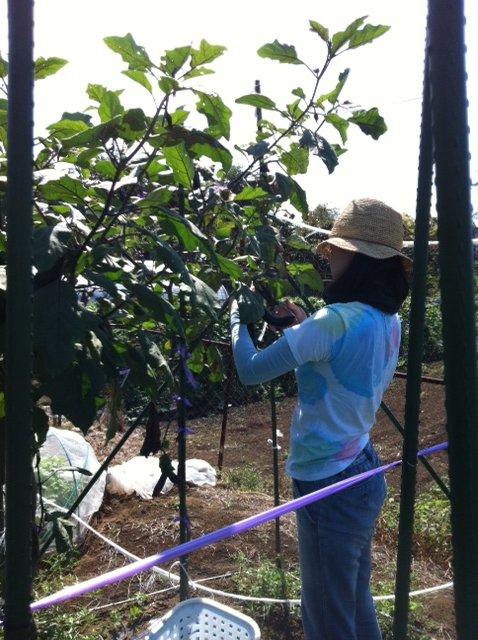 ブロッコリー&芽キャベツの苗計18株水不足と土の温度が高すぎてOUT_c0222448_14252665.jpg