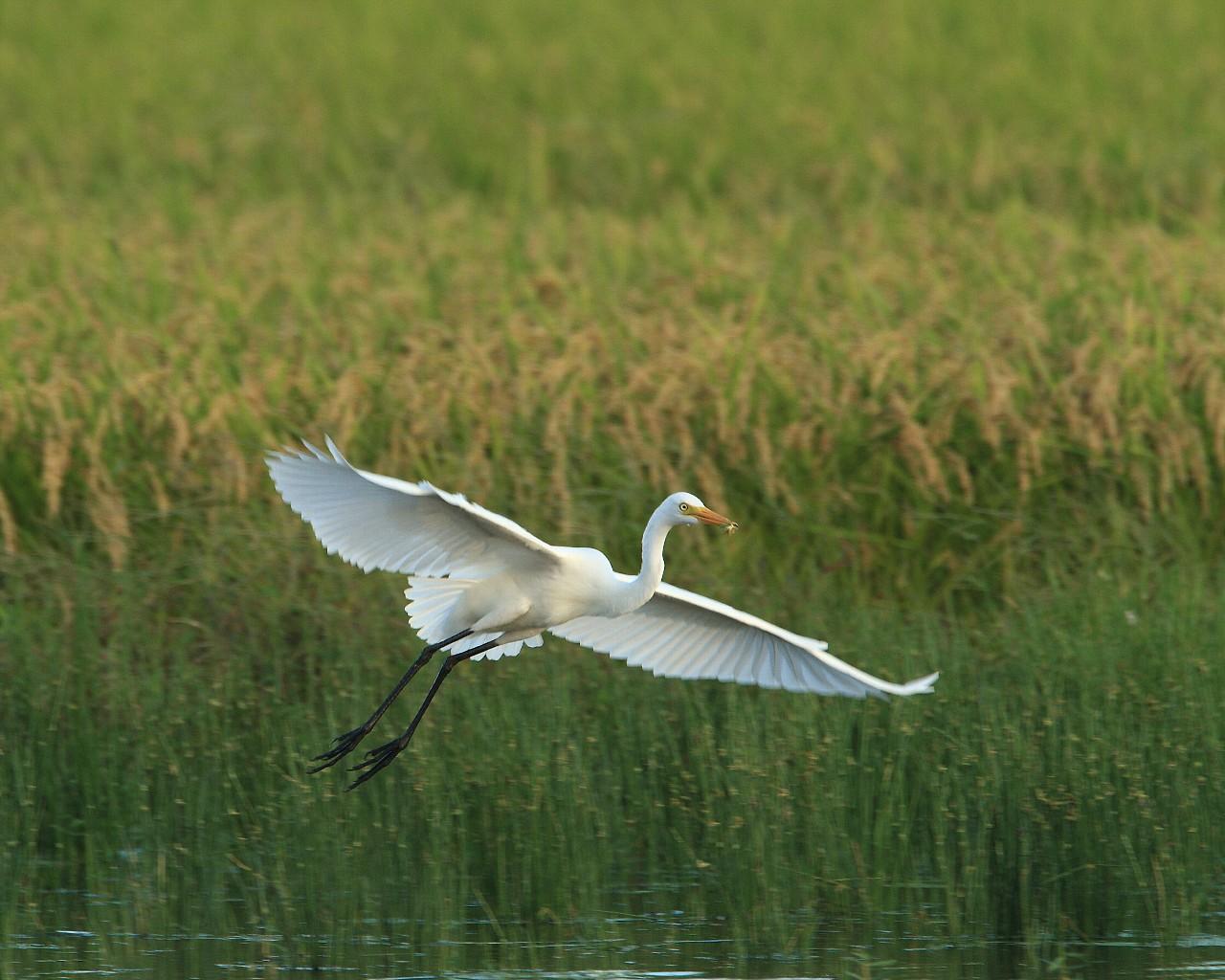 チュウサギの飛翔。背景は豊かに実った稲穂_f0105570_2155162.jpg