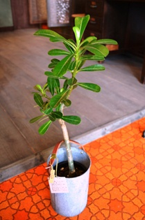 植物 新入り_d0263815_1645851.jpg