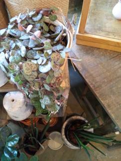今週の鉢物さん_b0209477_1734515.jpg